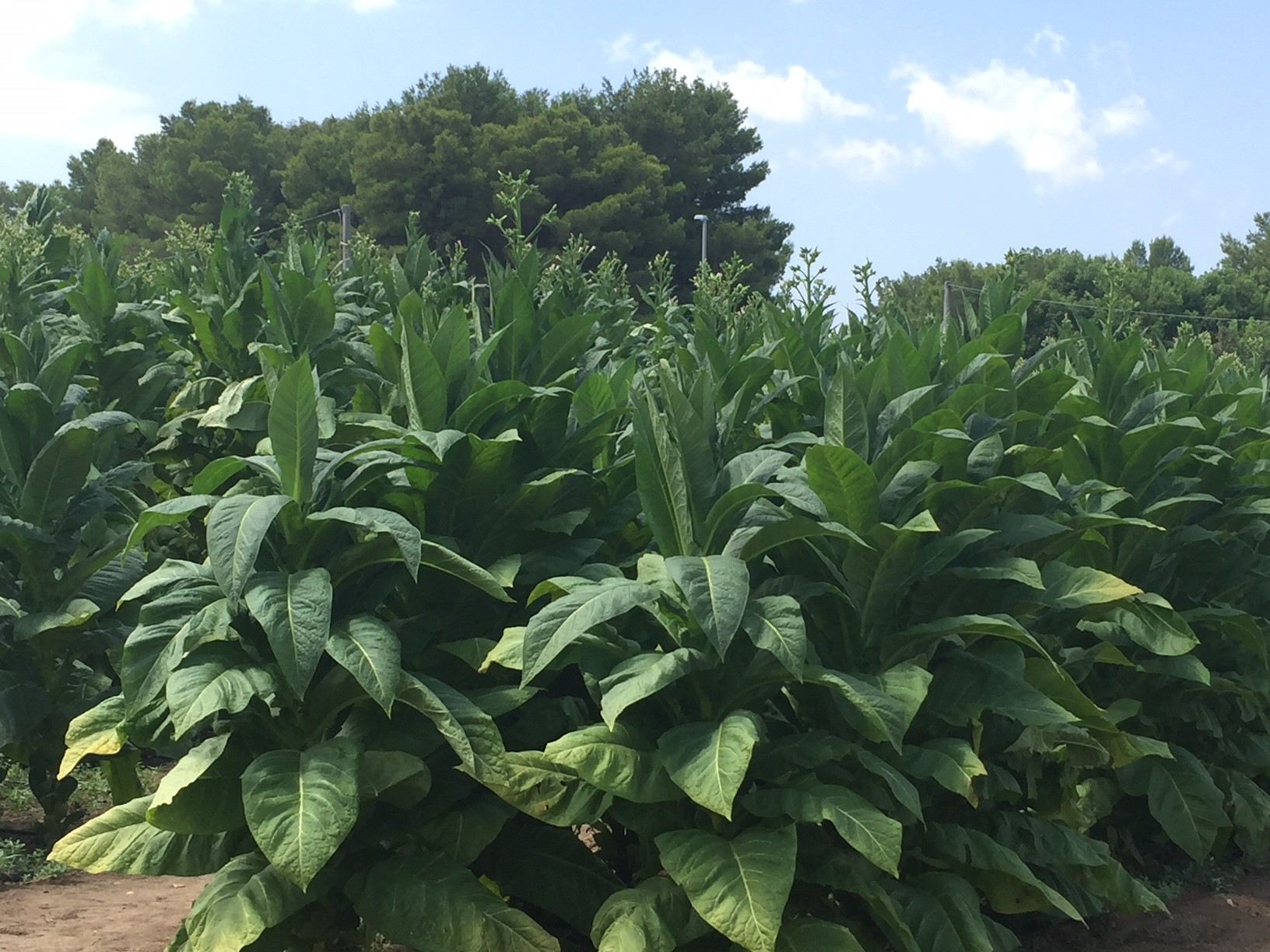 Tobacco plants grow in Italy